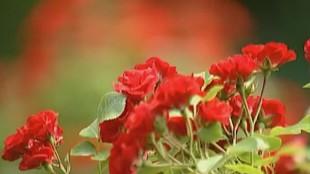 Цветочные истории 1 сезон Дербенник ивоподобный (плакун)