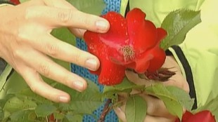Цветочные истории 1 сезон Роза