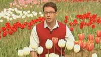 Цветочные истории 1 сезон Тюльпаны