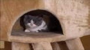 Кошки Сезон-1 Британские короткошерстные