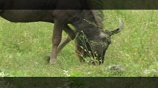 Основной инстинкт (2009) Сезон-1 Охота на гну в Намибии