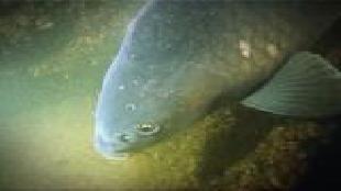Под водой с... Сезон-1 Пресноводные рыбы. Сазан
