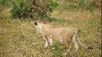 Выживание в дикой природе Сезон-1 Лев - король Саванны
